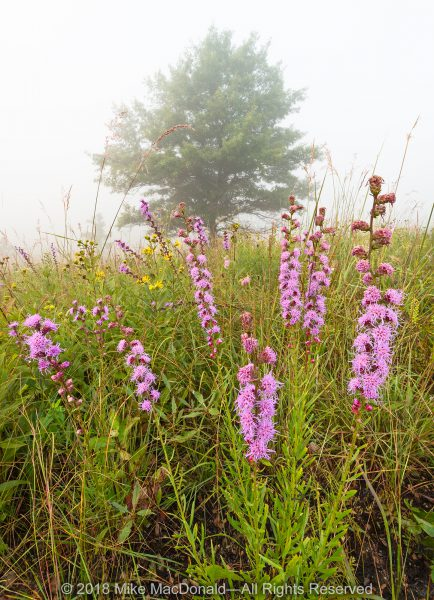 Rough blazing star rises colors the foggy hill prairie at Shoe Factory Road Prairie in Hoffman Estates, Illinois.*