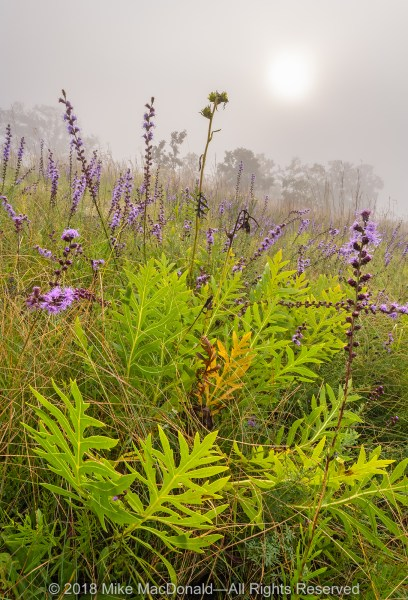 On this foggy August morning at Shoe Factory Road Prairie in Hoffman Estates, purple blooms of rough blazing star and the bright green foliage of compass plant bring color to the hill prairie.*