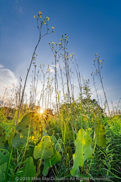 "A ""forest"" of compass plants reach for the sky at Wolf Road Prairie in Westchester, Illinois.*"