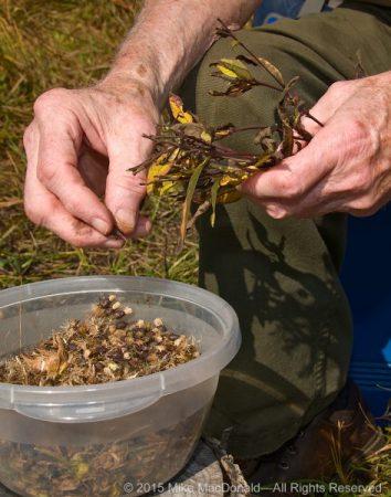 Dedicated volunteer and restoration leader, Bob Kelliher, separates seeds of ironweed at Kickapoo Prairie in Riverdale, Illinois.