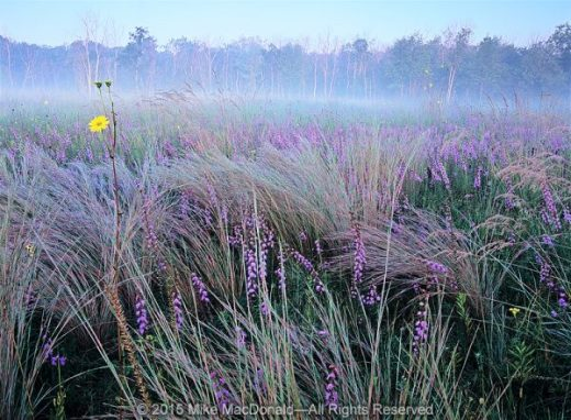 In the dolomite prairie at Theodore Stone Preserve in Hodgkins, Illinois, a single stalk of prairie dock rises above the fog and the purples of rough blazing star and little bluestem grass.*