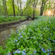 Chicago Spring Wildflower Report & Info – 05/09/2019