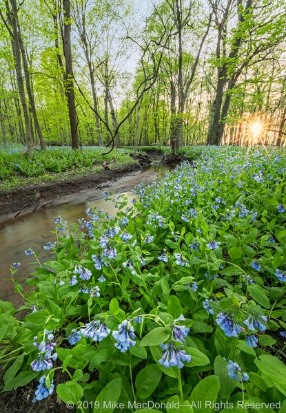 Virginia bluebells fill the April woodland of O'Hara Woods Nature Preserve in Romeoville, Illinois.