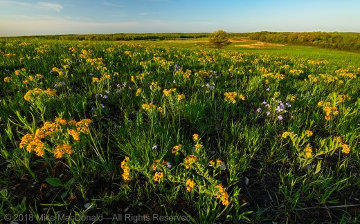 Hoary puccoon and birdfoot violet glow in the morning light at the hill prairie called Shoe Factory Road Prairie.*