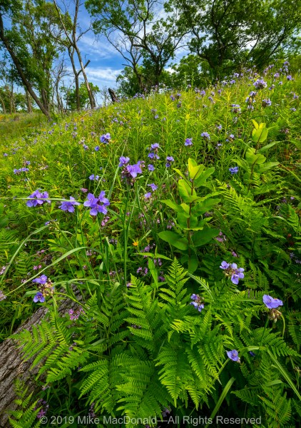 At Miller Woods (Indiana Dunes National Park), spiderwort and ferns cover the side of the dunes.