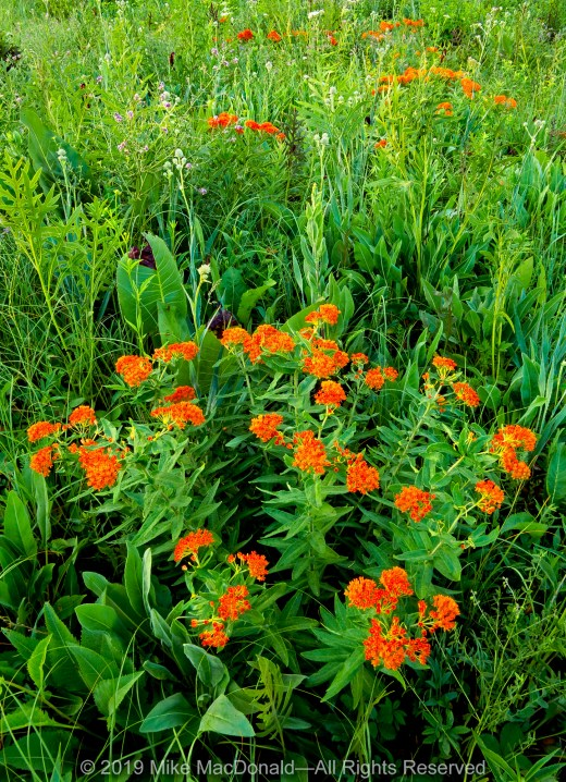Here at Belmont Prairie in Downers Grove, the bright orange flowers of butterfly weed makes a colorful statement.*