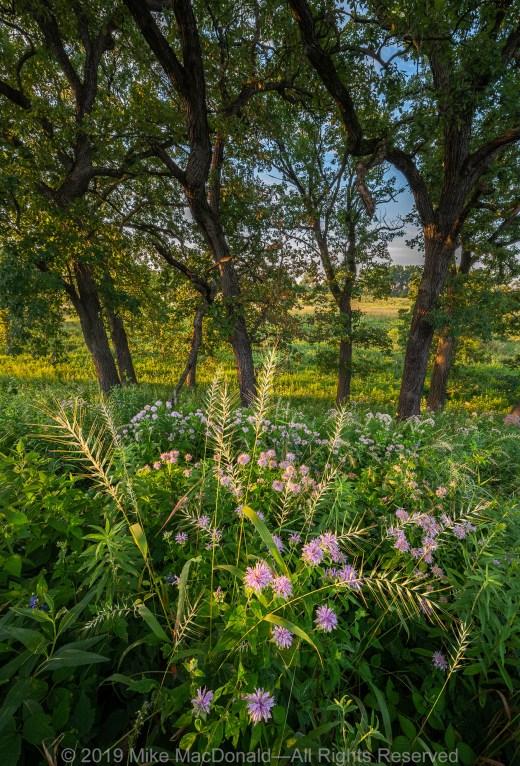 Bottlebrush grass and wild bergamot glow in the morning light in the oak savanna at Bluff Spring Fen in Elgin, Illinois.*