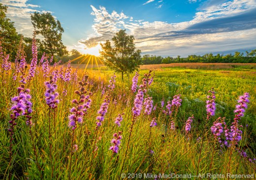 Rough blazing star glows in the morning light at Bluff Spring Fen in Elgin, Illinois.