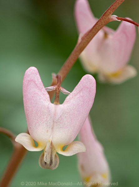 Pink Dutchman's breeches at O'Hara Woods Nature Preserve in Romeoville, Illinois.