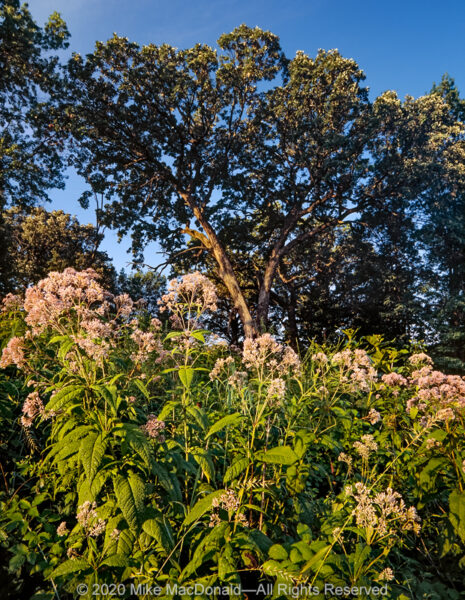 Sweet Joe-Pye weed grows tall in the oak savanna at the side of a kame at Bluff Spring Fen in Elgin.*