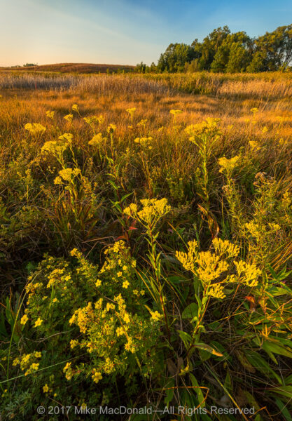 The golden blooms of stiff goldenrod and shrubby cinquefoil turn the seep of this fen aglow at Lake in the Hills Fen in Lake in the Hills, Illinois.*
