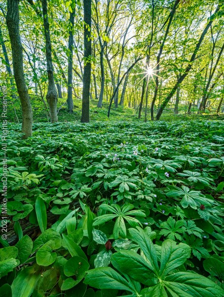 In early May, Black Partridge Woods becomes an emerald dream as the tree canopy adds its lushness to the woodland floor.