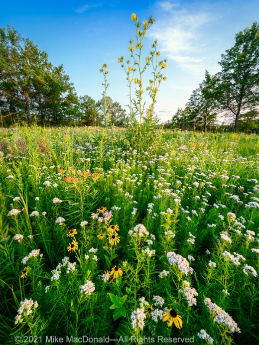 The many flowers of oak savanna at Somme Prairie Grove sparkle brilliantly in the last light of day.*