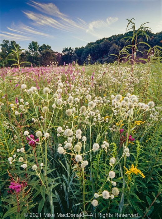 The prairie at Spears Woods teems with midsummer plant life: rattlesnake master, prairie blazing star, ironweed, early goldenrod, and sawtooth sunflower.*