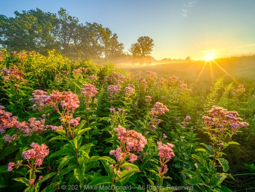 Morning arrives at the flowery seep of the fen at Bluff Spring Fen Nature Preserve in Elgin, Illinois.