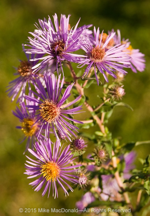 """Asters come in a variety of colors: white, pink, purple, and blue. The name comes from an Ancient Greek word for """"star."""" You can find them in most prairies and savannas, and in some wetlands around the region. This is an image of New England aster, which is just one of the many species of aster that bloom at this time of year. Click here for a complete (pdf) list of local asters and goldenrods."""