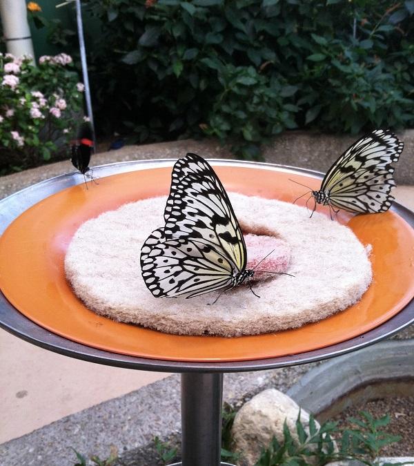 peggy-notebaert-butterfly