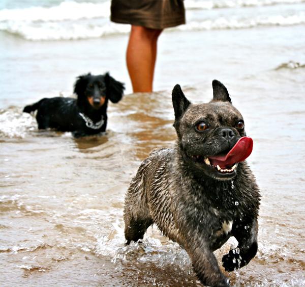 <em>Hey Bulldog.</em> Montrose Dog Beach, July. By Bill Guerriero, 43, copy editor, Andersonville