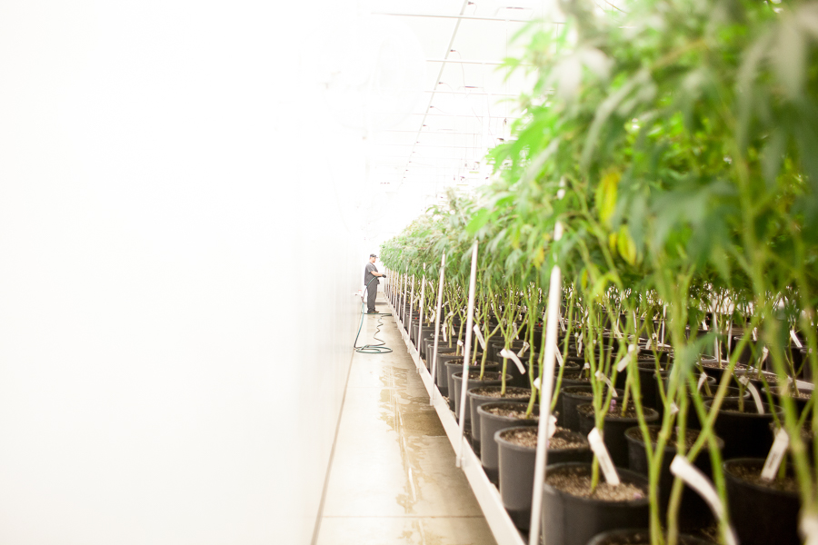 Revolution expects to eventually produce as much as 10,000 pounds of medical marijuana annually.