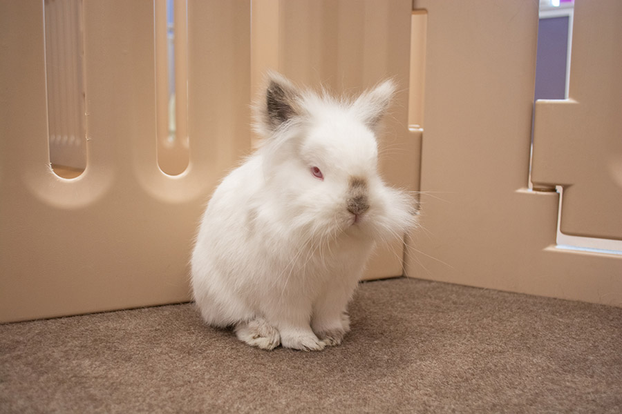 Lola is a himalayan and lionhead mix who loves to be scratched between the ears.