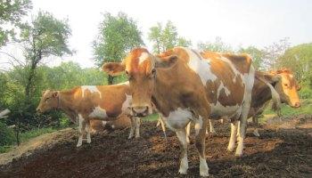Guernsey cows at a local dairy farm