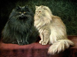 Blue and Cream Persian cats