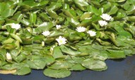 White water lily - Nymphaea alba