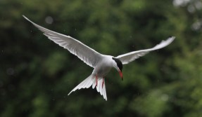 Common tern hovering