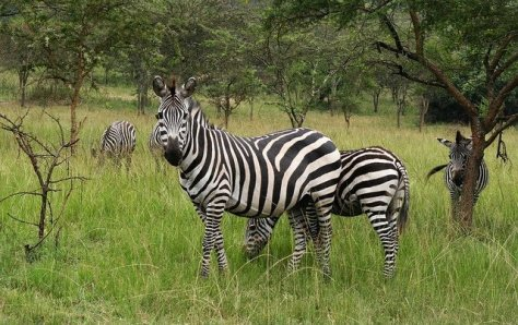 Zebra at Lake Mburo National Park, Uganda