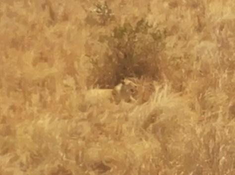 Lioness hiding in grass, Mikumi National Park