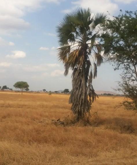 Mikuki Tree, Mikumi National Park