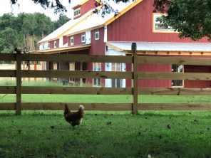 Rooster at Woodside Farms
