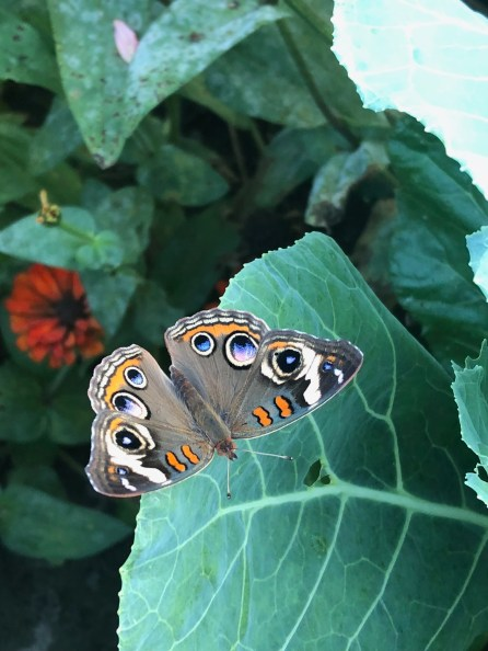 Monarch on The Farm