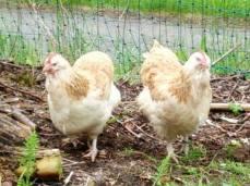 Die zwei Lachshühner Lottie und Karottie