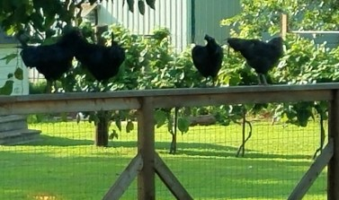chickens on fence