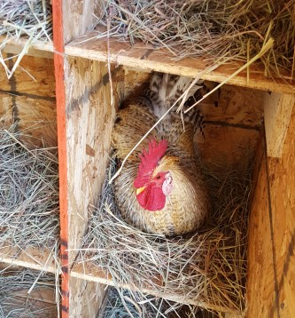 rooster in nesting box