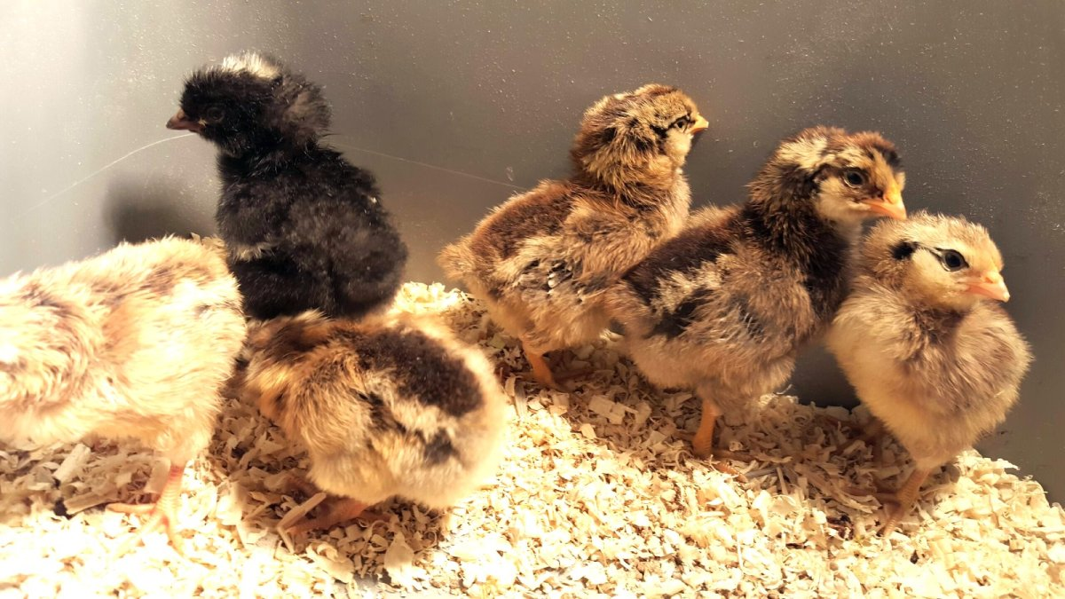 mixed flock of chicks