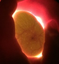 Egg lit up from behind with veins inside