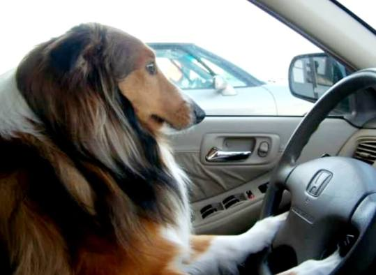 very cute pic of Sheltie driving
