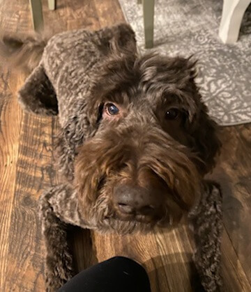 really cute picture of labradoodle