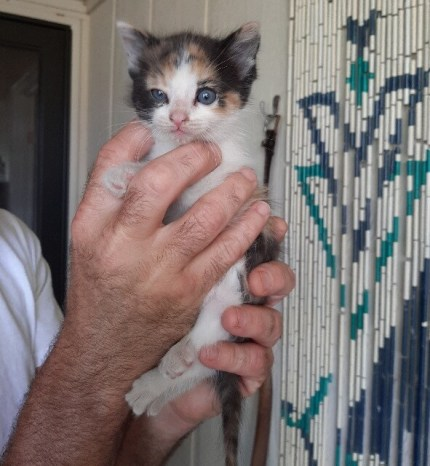 abandoned calico kitten and how to help an abandoned animals