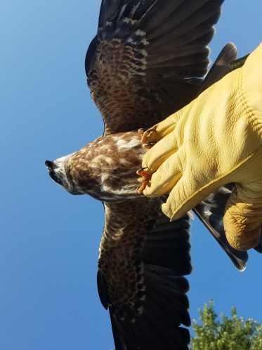 cool picture of teaching a Mississippi Kite how to fly
