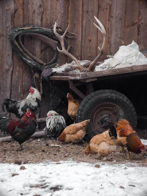 rural henhouse with chickens and deer horns