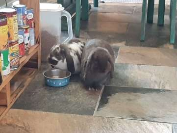 Two dwarf lop eared bunnies on a tiled floor