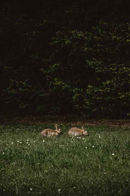 rabbits chasing each other