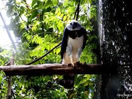© 2009 - http://chicoterra.com - Macapá - Fampress - gavião real