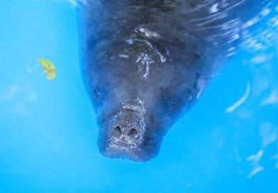 Parceria entre Fundação Bioparque da Amazônia e Instituto Mamirauá visa a recuperação de mamíferos aquáticos
