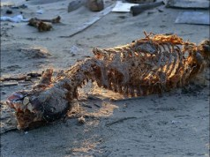 Skinned and headless polar bear carcasses is found riddled with bullets