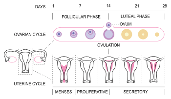Husbands must know their wives' menstrual circle