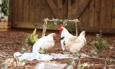LADY organizes wedding ceremony for 2 chickens (Photos)